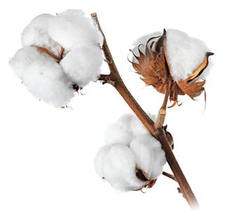 cotton-5